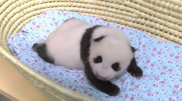 ジャイアントパンダの子ども