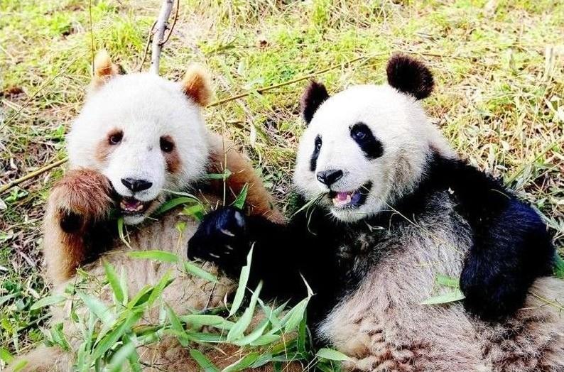 白と茶色のパンダ1
