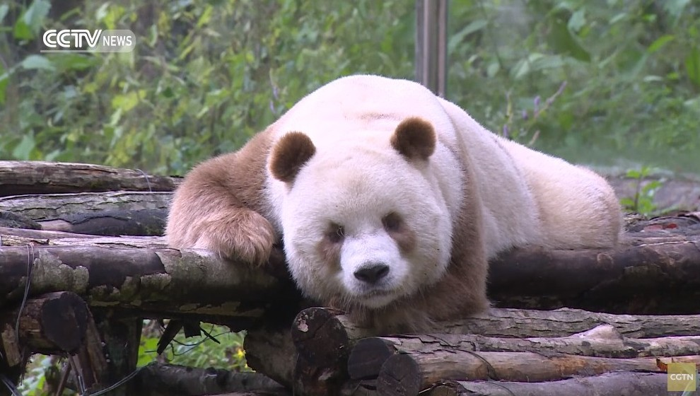 白と茶色のパンダ2