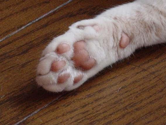 ネコの前脚