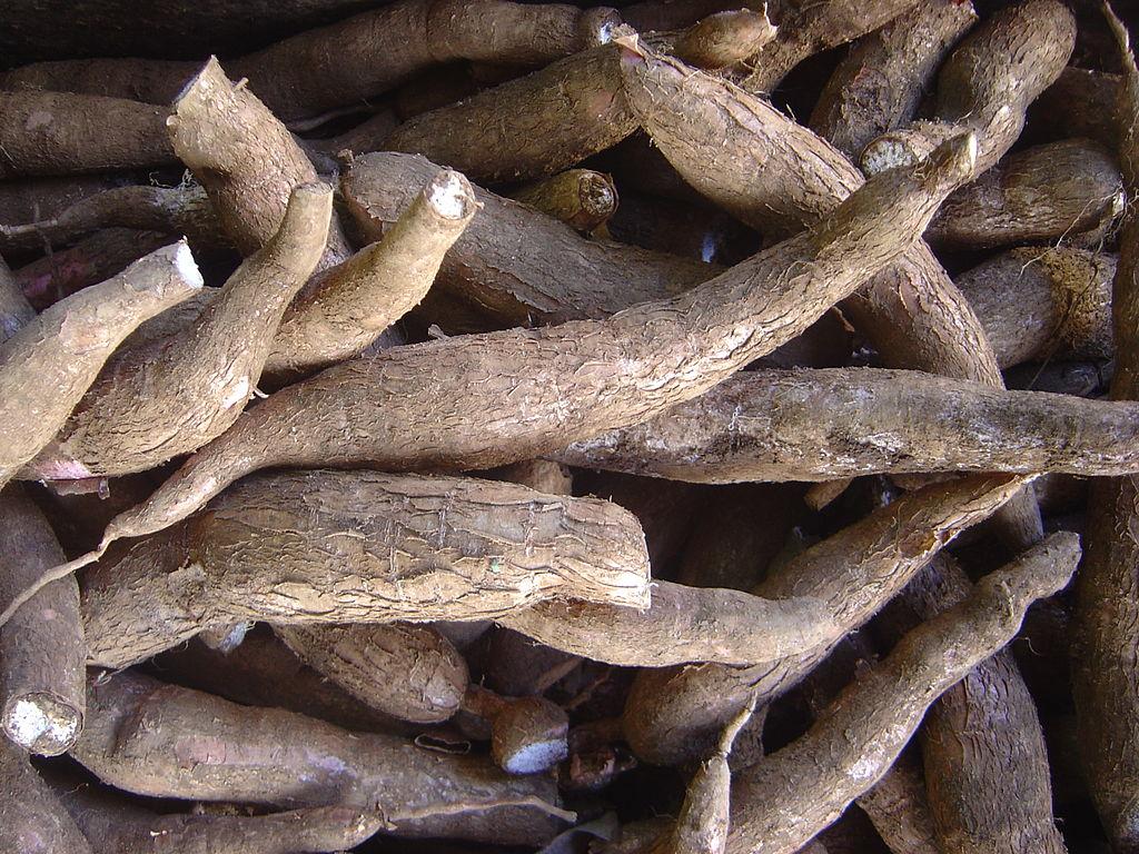 キャッサバの根茎
