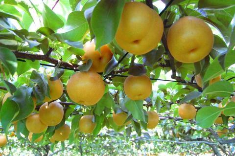 収穫前の梨