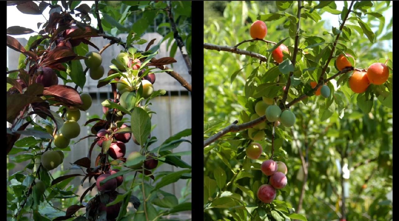 40種類の花が咲く木(果実)
