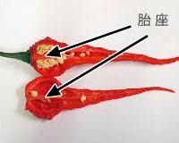唐辛子(胎座)