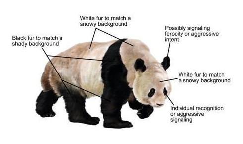 パンダの白黒模様の機能