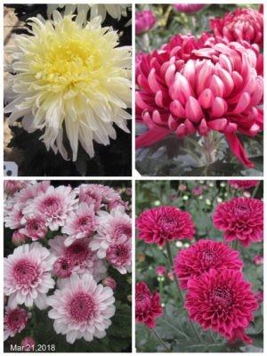 新しい菊の花