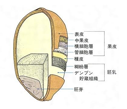 米粒の構造