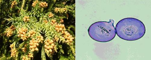 スギとその花粉