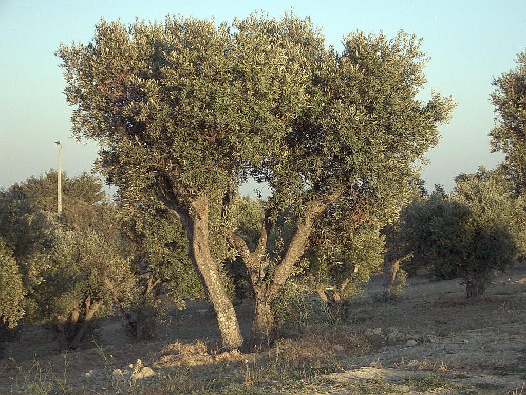 オリーブの樹