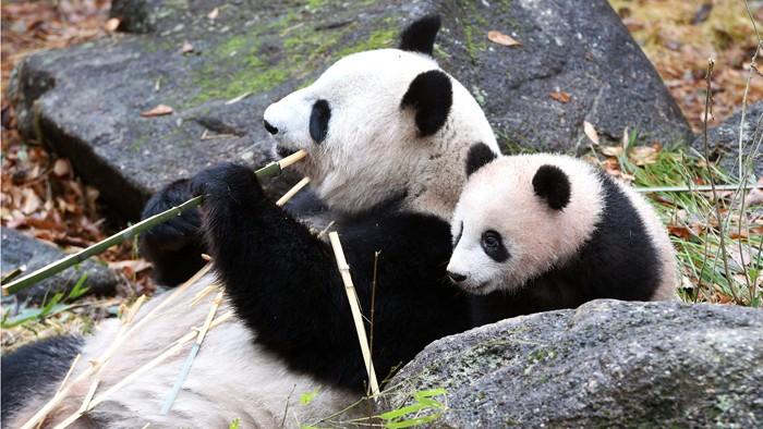ジャイアントパンダの母親「シンシン」と子「シャンシャン」