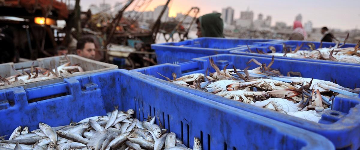 港の魚(パレスチナ・ガザ)