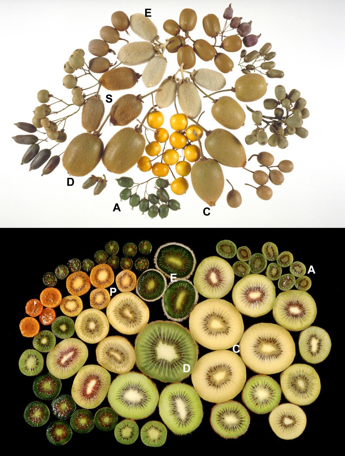 様々なキウイフルーツ