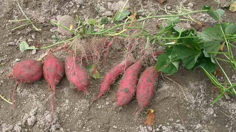 掘り出したサツマイモ