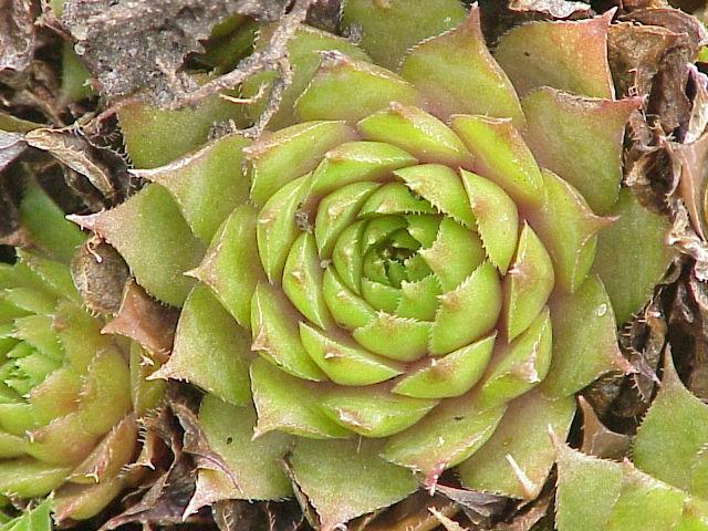 ベンケイソウ科の多肉植物